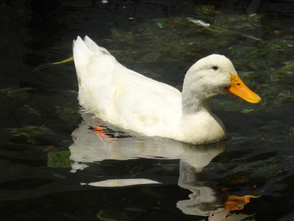 Eine der Bewohnerinnen des Teichs am Restaurant The Duck Pond