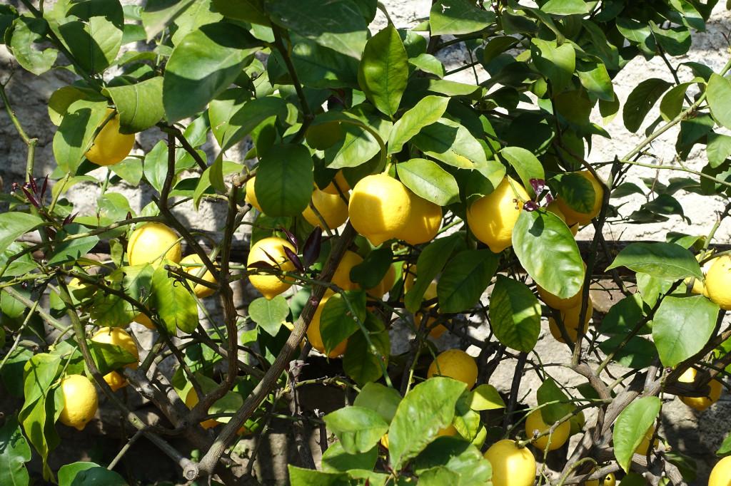 Limone - Limonaia del Castel