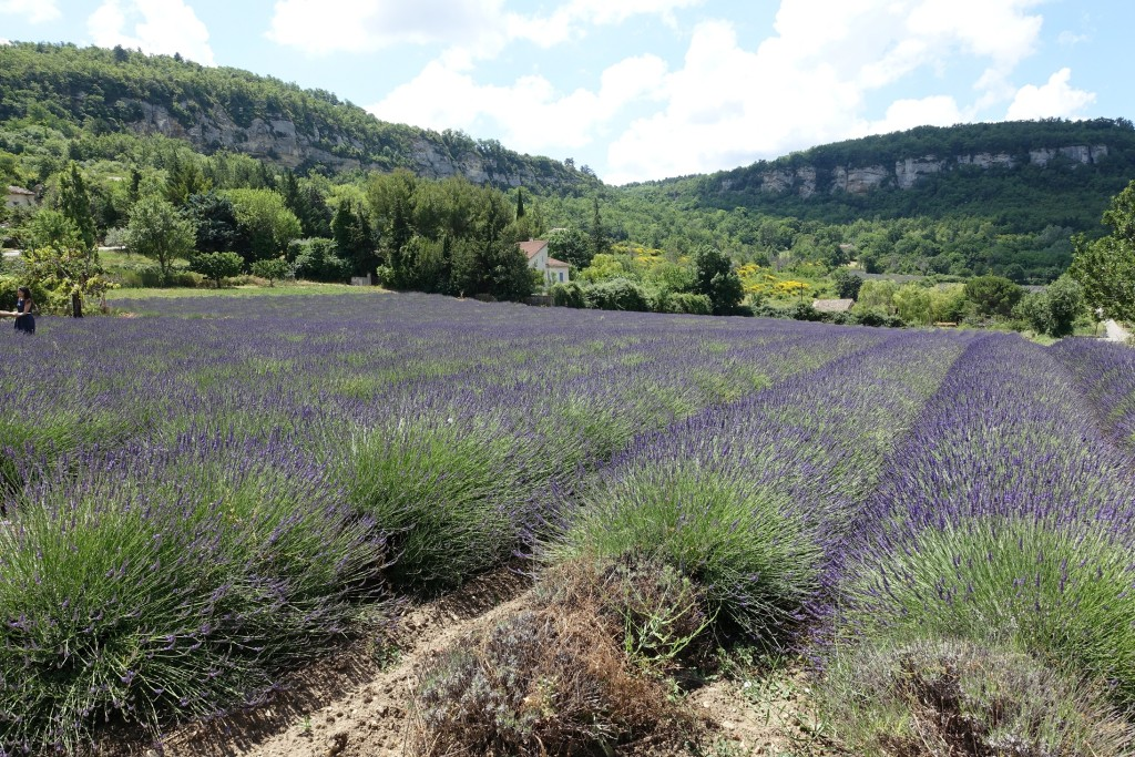 Saignon - Lavendelfeld