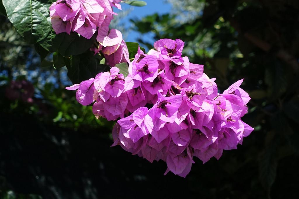 Casa Bonassi - Blütenpracht der Bougainvillea