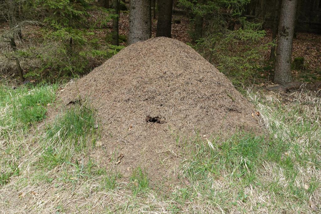 Riesiger Ameisenhaufen - ca. 1,5 Meter hoch