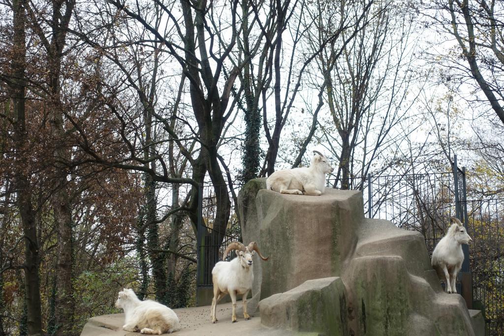 Zoo Leipzig - Dallschafe