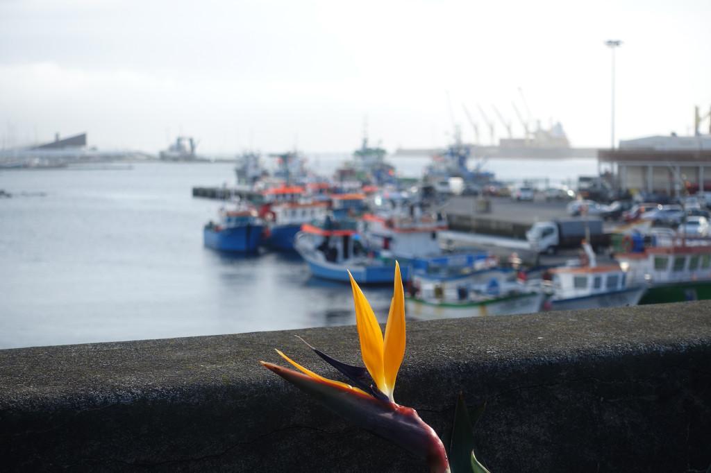 DSC06181 Azoren 2017 - Ponta Delgada - Fort Sao Bras - Blume