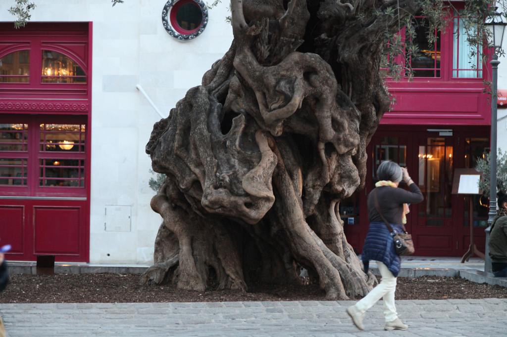 Was für eine Persönlichkeit von Olivenbaum!!!