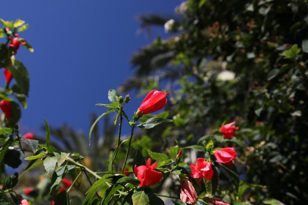 IMG_5841 Mallorca - Palma - Blume
