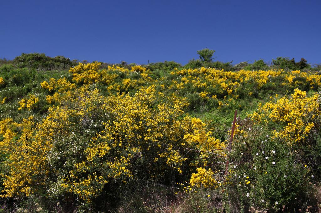 IMG_6196 Korsika 17 - Ausflug Nebbio - Blume