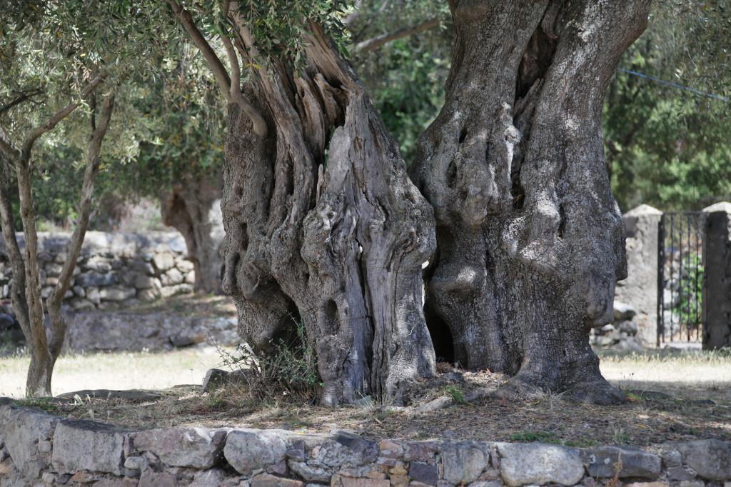 Olivenbaum-Persönlichkeiten