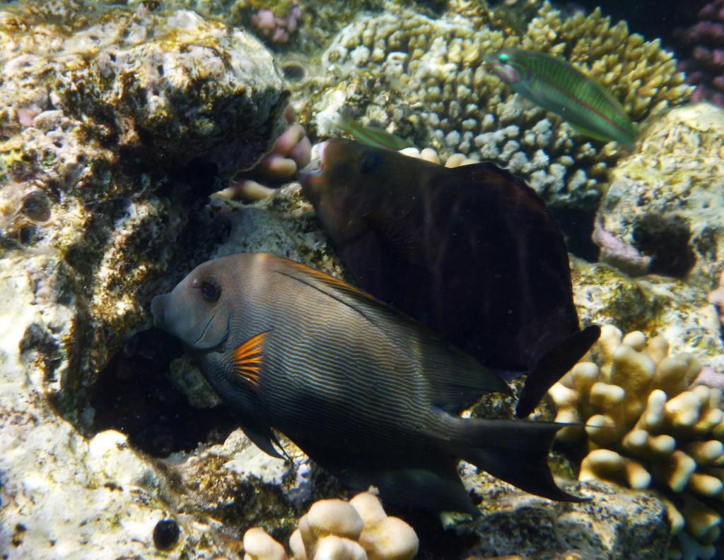P1030089 2010 04 Four Seasons - Sharm el Sheik - Unter Wasser