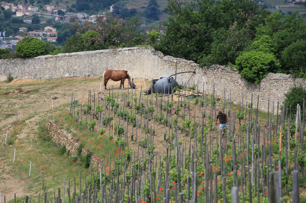 Tain l' Hermitage - unterwegs im Weinberg - biologischer Anbau mit Pferd und Pflug