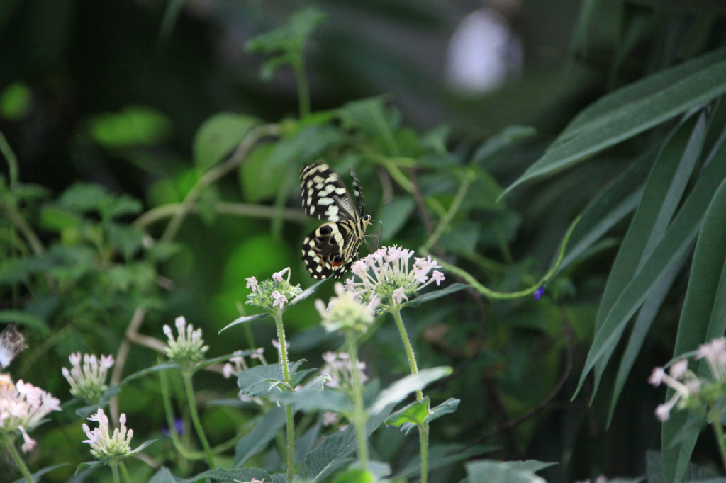 Mainau - Schmetterlingshaus
