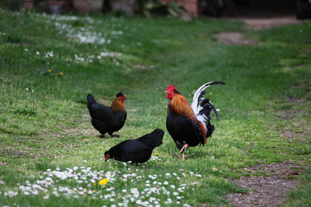 Einzig der Hahn kommt prächtig daher