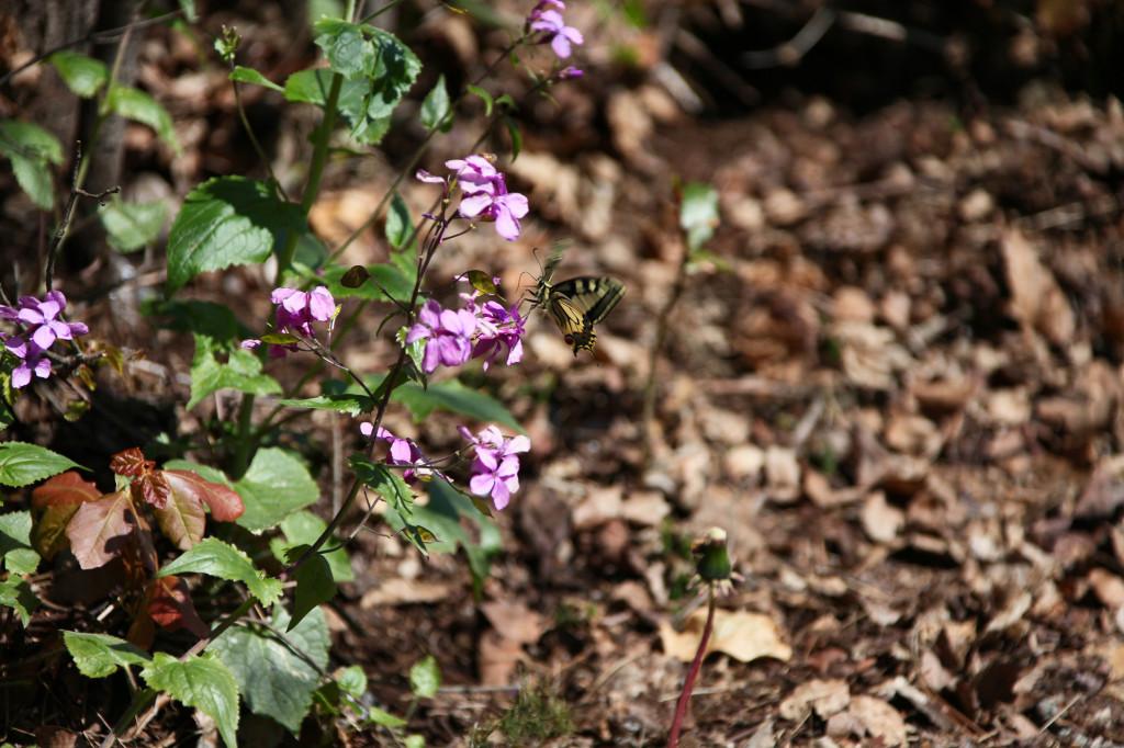 Auch in Italien bzw. hier San Marino sind Schmetterlinge zu seltenen Tieren geworden