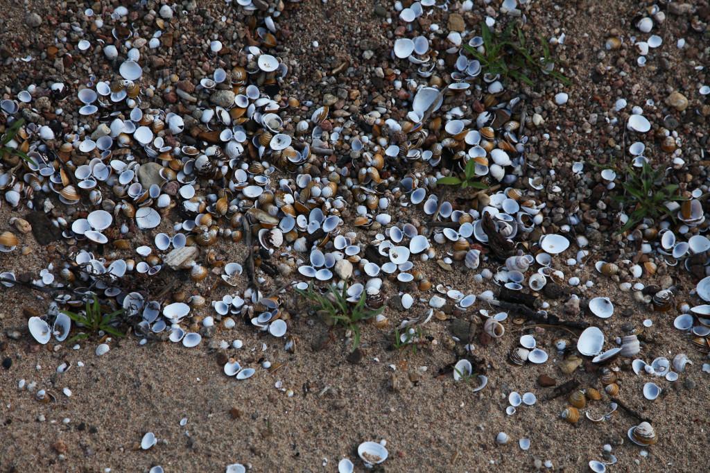Chateauneuf-sur-Loire - Campingplatz - Muscheln auf der Sandinsel in der Loire