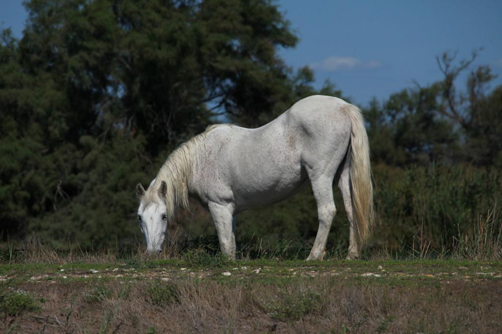 Eins der freilaufenden Camargue-Pferde
